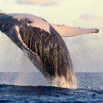 Temporada de baleias jubarte começa na Bahia
