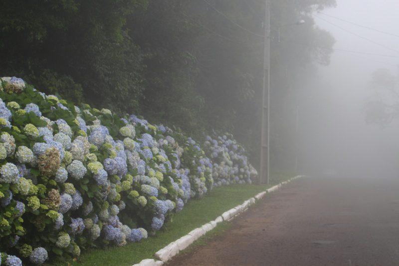 Hortênsias e neblina - símbolos de Gramado (Foto: DT)