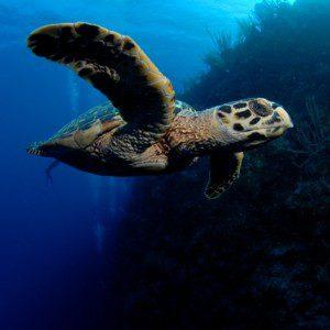Tartaruga do mar das Ilhas Cayman (Foto: divulgação)