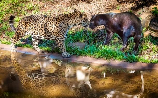 Itaipu lança concurso para nomear à oncinha do Refúgio Biológico Bela Vista