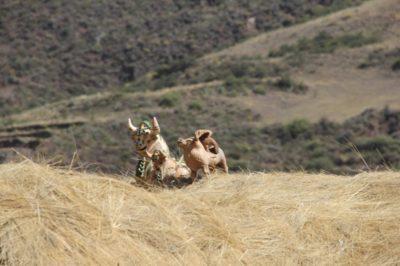 Imagens de touro sobre as casas para a proteção