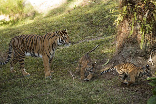Filhotes de tigres-de-sumatra chegam ao Animal Kingdom