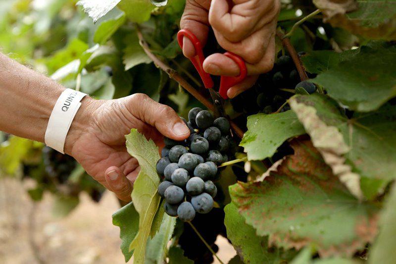 Tradicionalmente, janeiro é o mês que as uvas terminam seu processo de amadurecimento e estão prontas para serem colhidas (Crédito: divulgação)