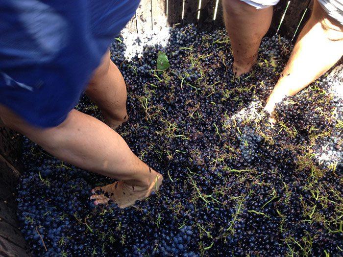 Pisar uvas ainda é um processo utilizado em algumas vinícolas uruguaias para a produção de vinhos mais específicos (Crédito: divulgação)