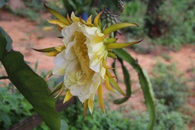 Flor de Cacto em meio ao Cerrado