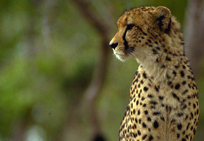 Contemplar a vida selvagem nos safáris é um dos atrativos na África do Sul (Crédito: divulgação)