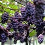 Festa da Uva começa em Jundiaí (SP) e segue até o dia 3 de fevereiro