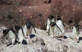 Temporada de pinguins em Puerto Deseado é uma experiência inigualável na Argentina